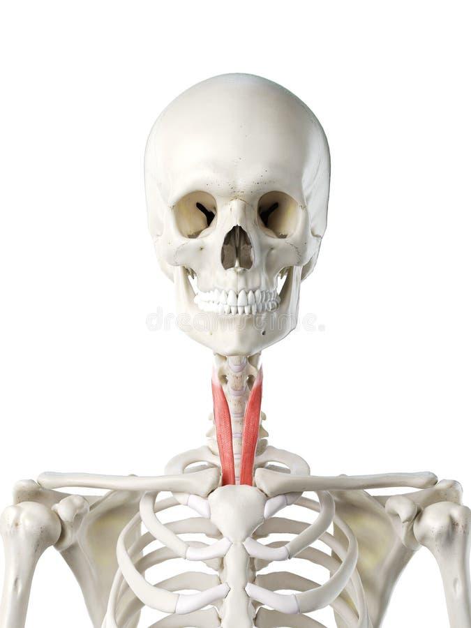 Sternothyroid wijfjes stock illustratie
