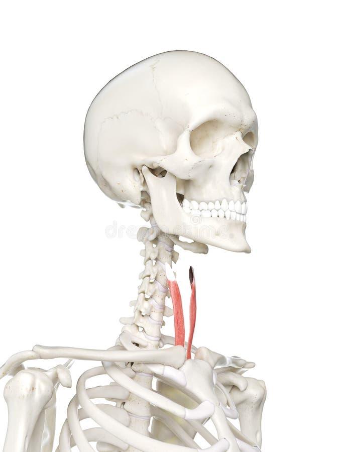 Sternothyroid wijfjes royalty-vrije illustratie