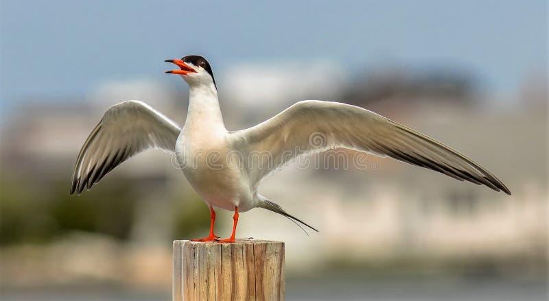 Sternula Antillarum Mały Tern ptak obrazy stock