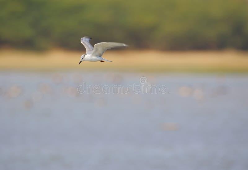 Sternvogel met bakkebaarden royalty-vrije stock afbeeldingen