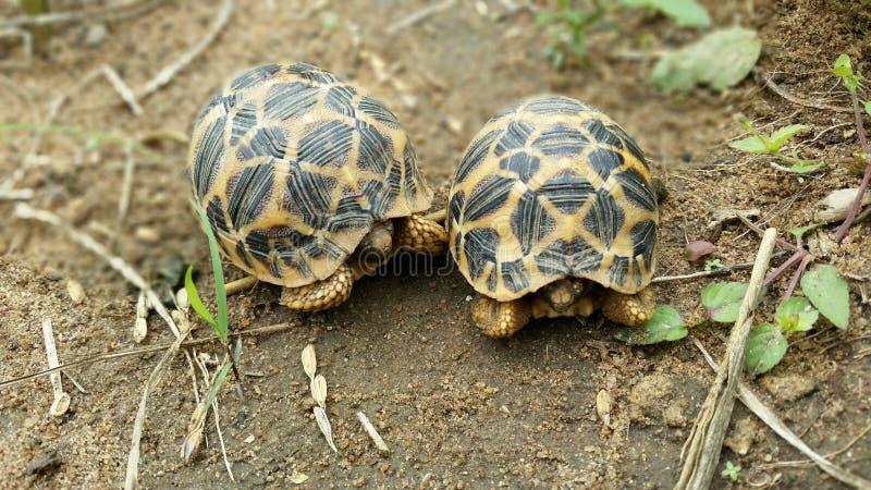Sterschildpadden van Sri Lanka stock afbeelding