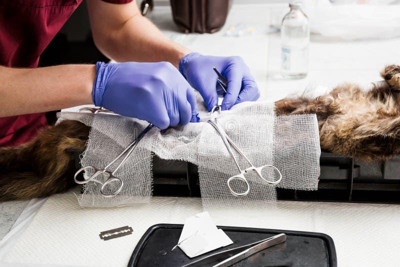 Sterylizacja kot Chirurgicznie nacięcie miękkie tkanki podbrzusze Weterynaryjna kot operacja, urolithiasis obrazy royalty free