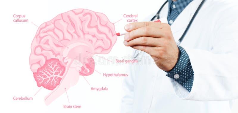 Stethoskop liegt auf Set Geld Doktor und Anatomie des menschlichen Gehirns stockfotos
