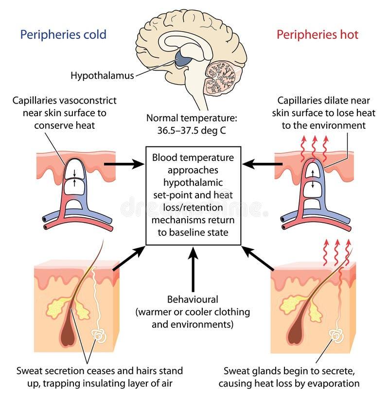 Steuerung der Körpertemperatur lizenzfreie abbildung