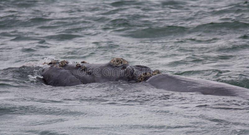 Steun van een Zuidelijke Juiste Walvis die dichtbij Hermanus, Westelijke Kaap zwemmen Beroemde wijngaard Kanonkop dichtbij schild stock foto