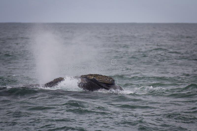 Steun van een Zuidelijke Juiste Walvis die dichtbij Hermanus, Westelijke Kaap zwemmen Beroemde wijngaard Kanonkop dichtbij schild royalty-vrije stock afbeeldingen