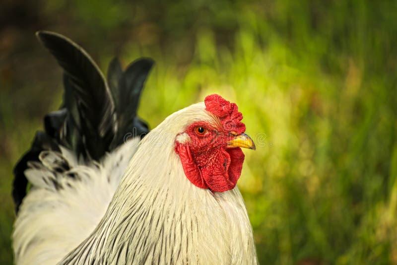 Steven der junge Hahn stockfotografie