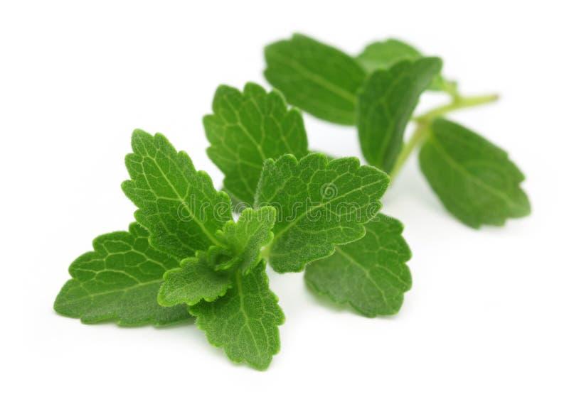 Stevia – ένα υποκατάστατο της ζάχαρης στοκ εικόνες με δικαίωμα ελεύθερης χρήσης