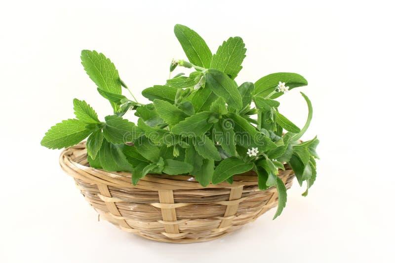 Stevia imagem de stock royalty free