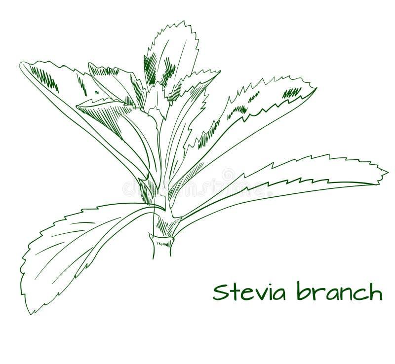 Stevia branch outline VECTOR sketch royalty free illustration