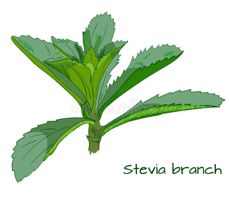 Stevia branch VECTOR sketch vector illustration