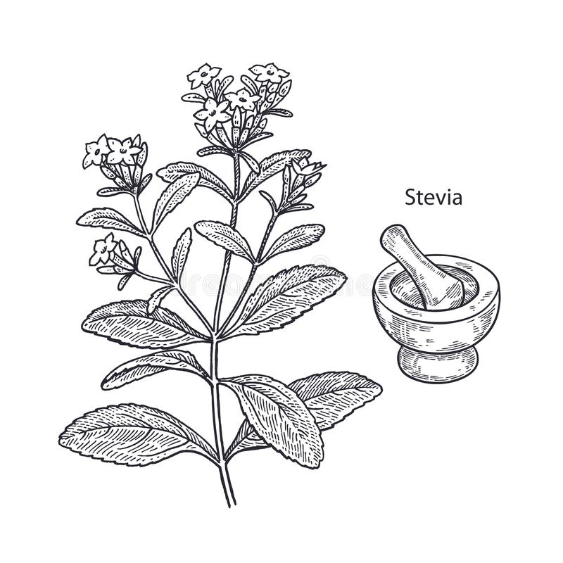 Stevia de plante médicinale illustration stock