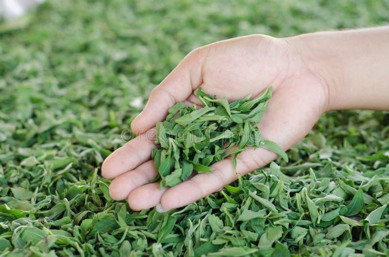 Stevia in der Hand lizenzfreies stockfoto