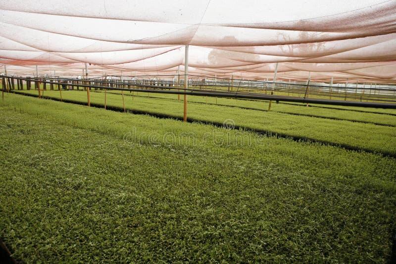 Stevia en invernadero imagen de archivo libre de regalías
