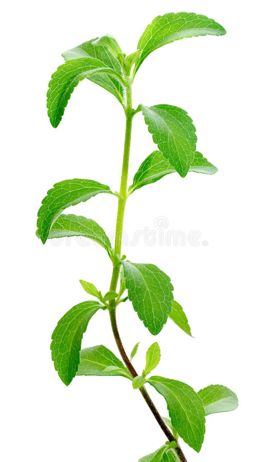 Download Stevia plant stock photo. Image of white, green, ingredient - 21948252