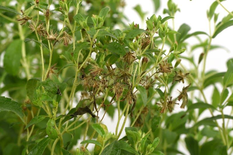 Stevia & x28; Rebaudiana do Stevia & x28; Bertoni& x29; Bertoni& x29; árvore fotos de stock