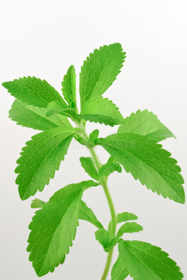 Stevia rebaudiana, with fresh, green leafs. And white background royalty free stock photography