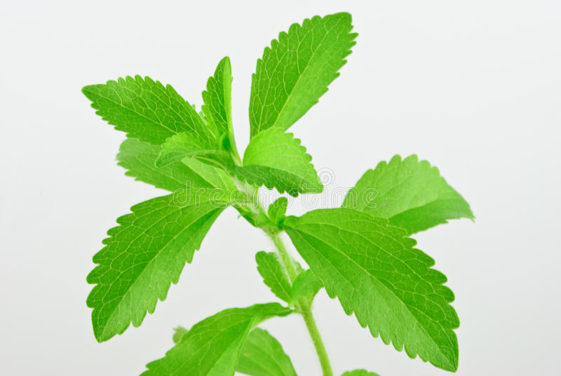 Stevia rebaudiana, with fresh, green leafs. And white background royalty free stock images