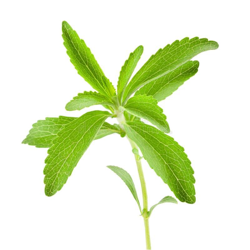 Stevia rebaudiana sprig. Isolated on white background stock photos