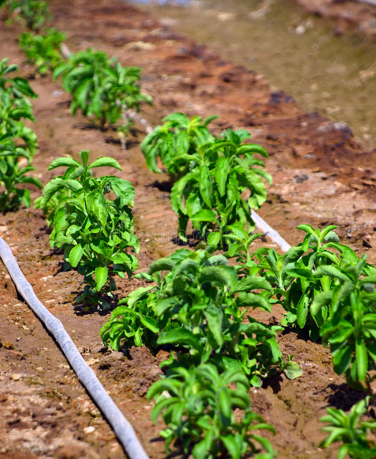 Stevia växt royaltyfri foto