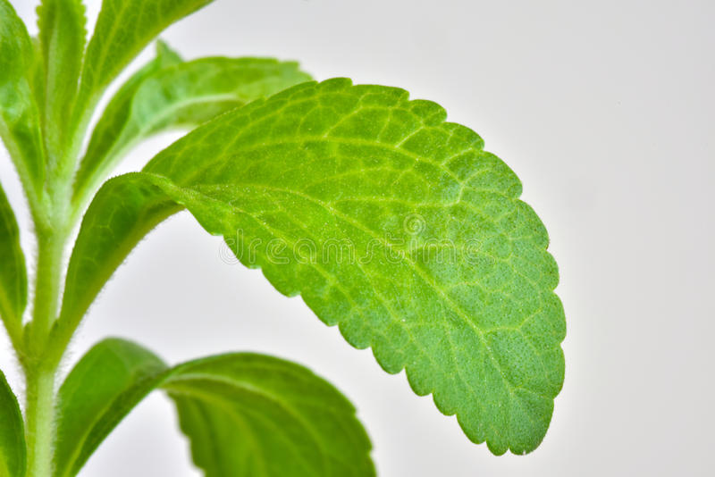 Stevia young plant stock photo