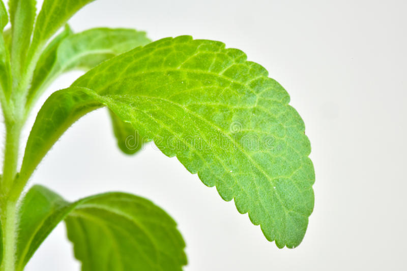 Stevia young plant stock images
