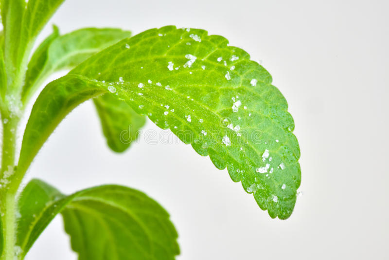 Stevia young plant royalty free stock images