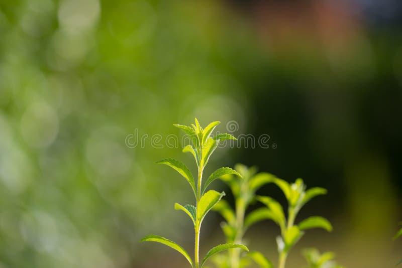 Steviaväxt, sund sötningsmedel och naturlig ersättning av socker Selektiv fokus på unga frodiga gräsplansidor vid organiskt lantb royaltyfria bilder
