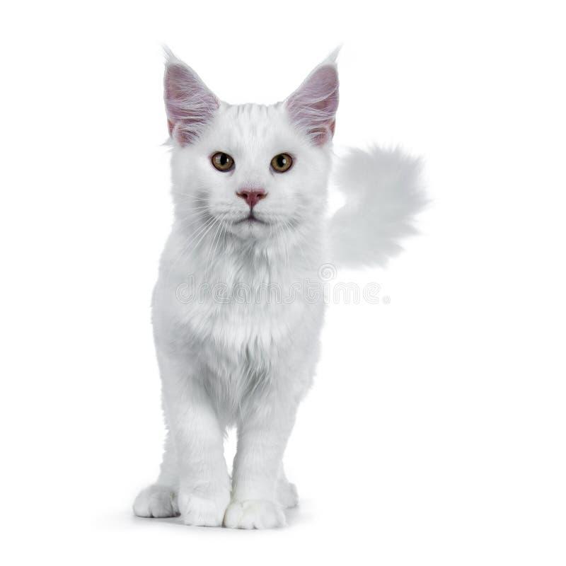 Stevig wit Maine Coon-kattenkatje met houding die/lopen zich naar camera bevinden die recht in lens kijken die op witte backg wor stock afbeelding