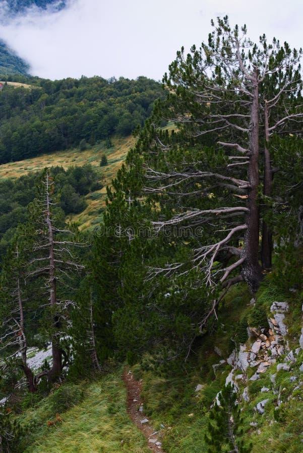 Stevige pijnbomen die in het ruwe milieu van de bergen groeien royalty-vrije stock foto's