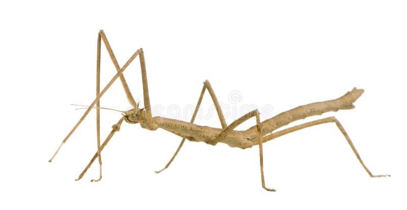 stick för phasmatodea för extradentakrypmedauroidea arkivbild