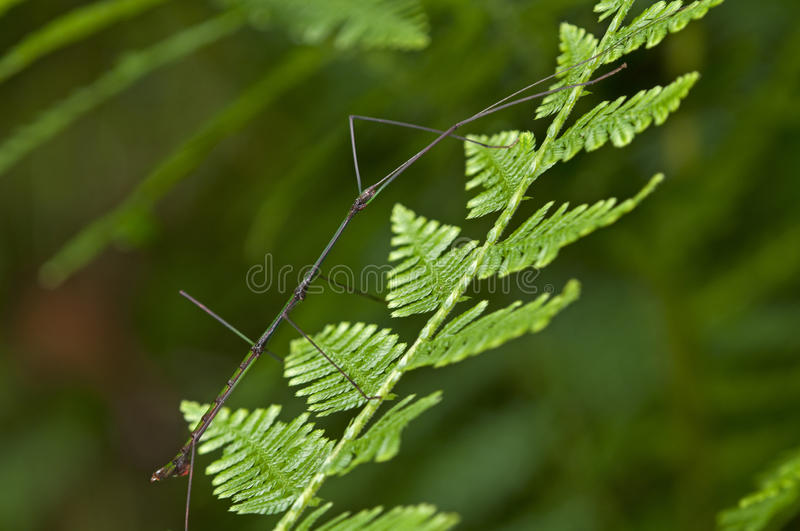 Download Stick insec stock image. Image of ups, close, arthropods - 27450647