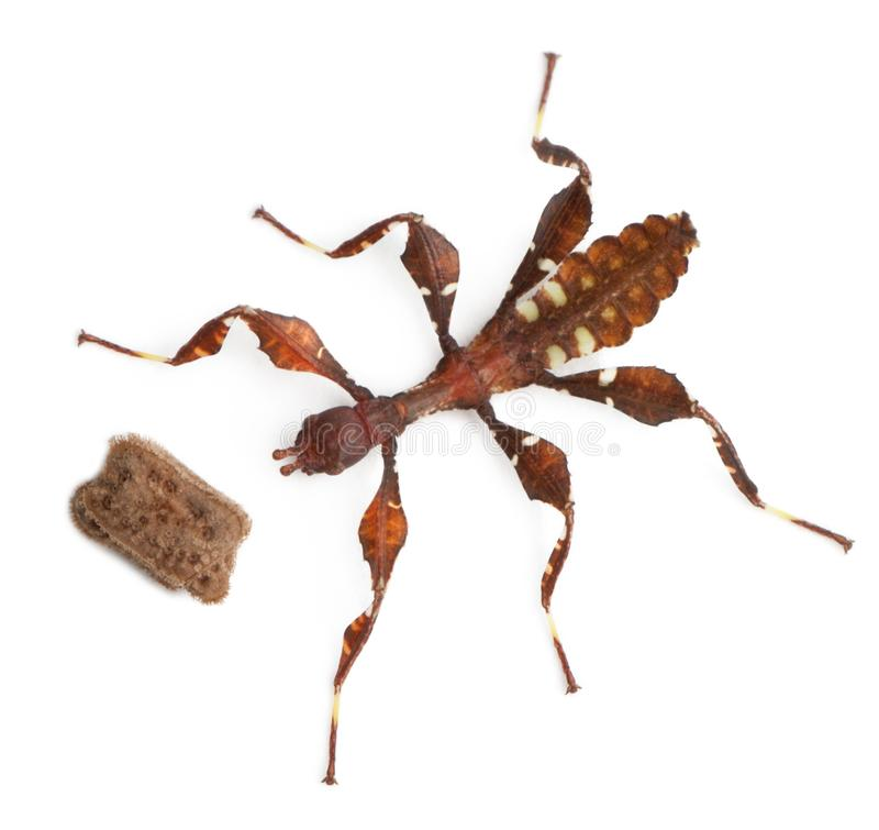 Stick insect, Baby Phyllium Westwoodii and his egg. 12 hours old, in front of white background stock photos