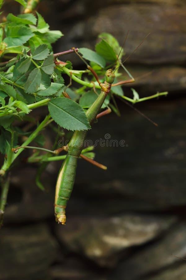 Stick insect Periphetes forcipatus stock image