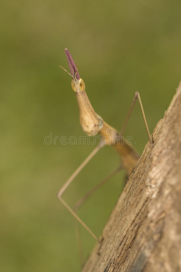 Stick insect phasmatodea macro closeup detail royalty free stock photography