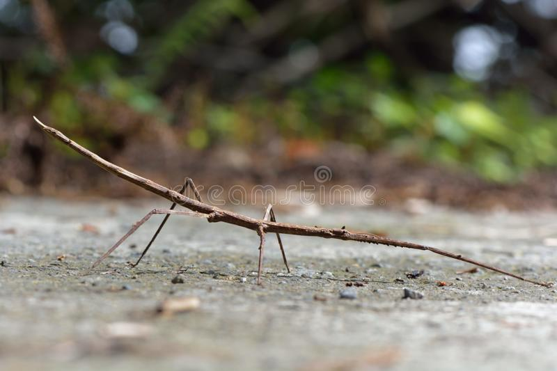 Stick insect royalty free stock images