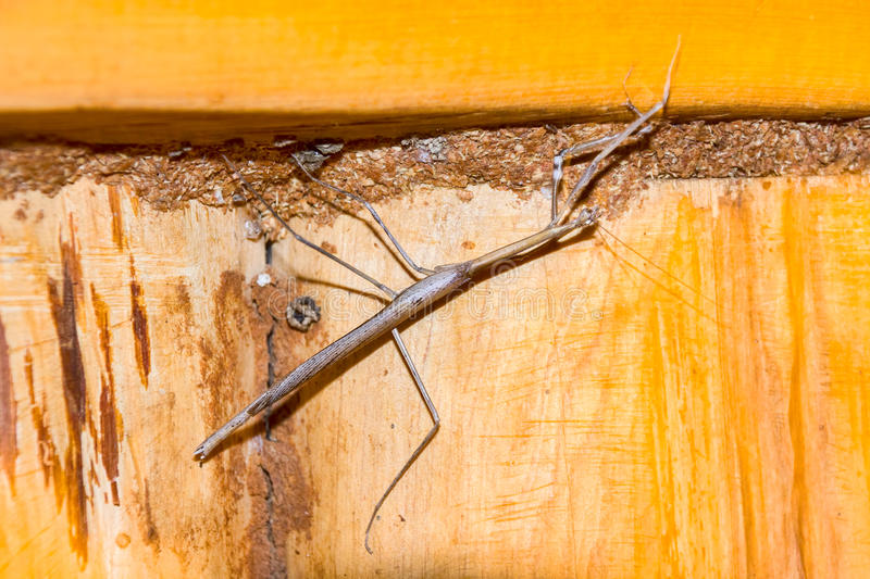Stick Insect. Photographed on Kuki Gallman`s ranch, `Ol Ari Nyiro`, up in the Laikipia region of Kenya, where I found this Stick Insect in my bathroom one stock images