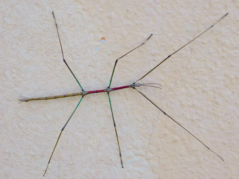 Stick Insect royalty free stock photos