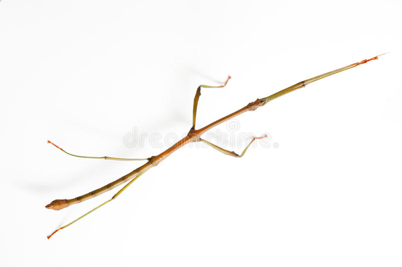 Stick insect on white background stock image