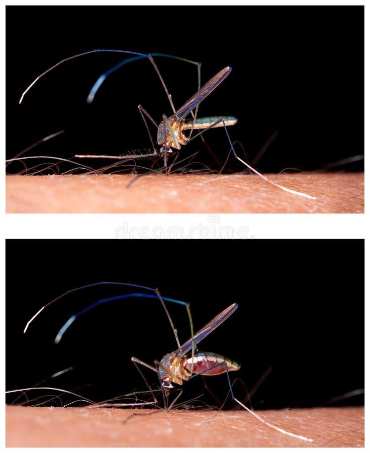 Stickande mänsklig hud för mygga royaltyfri fotografi