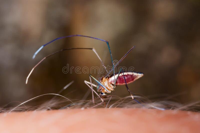 Stickande mänsklig hud för mygga royaltyfri bild