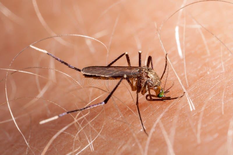 Stickande mänsklig hud för mygga arkivbilder
