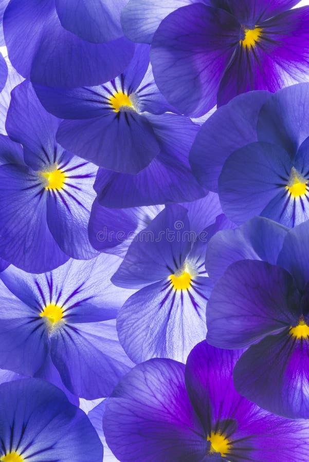 Stiefmütterchenblume stockbild