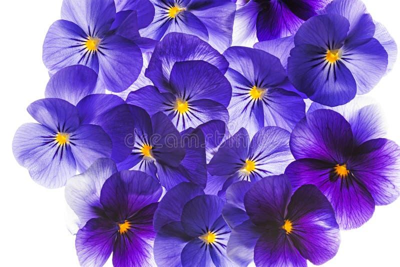 Stiefmütterchenblume lizenzfreie stockbilder