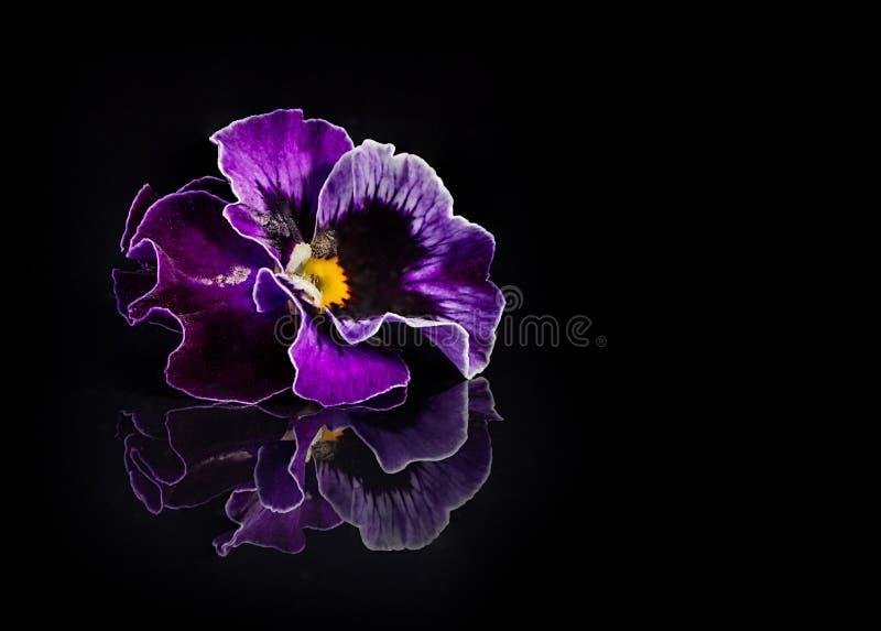 Stiefmütterchenblumen lokalisiert auf Schwarzem stockfotografie