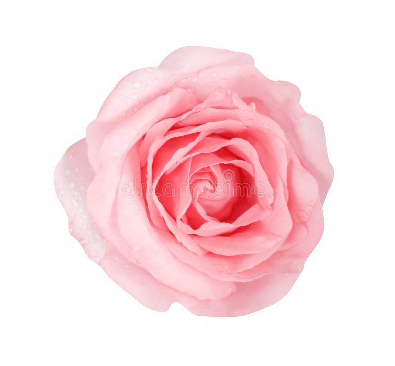 Stieg weiches Rosa der Draufsichtnatur Farbdie blumen, die mit den Wassertropfen bl?hen, die auf wei?em Hintergrund mit Beschneid lizenzfreie stockfotografie