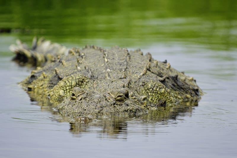 Stiekeme krokodil royalty-vrije stock afbeelding