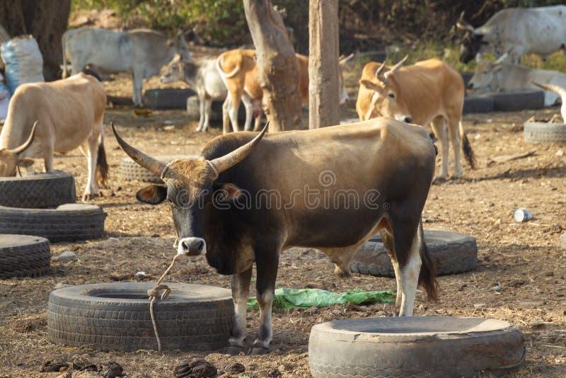 Stier bij dierlijke markt in Gambia stock foto