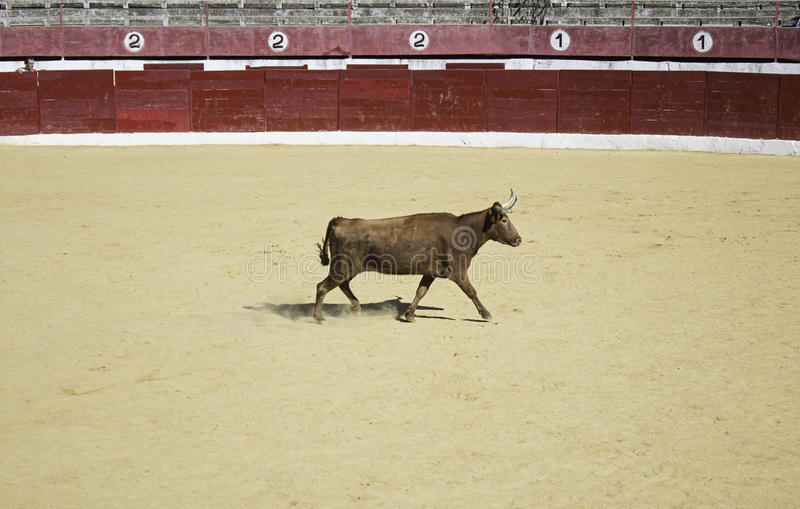 Stier in der Rolle stockfoto