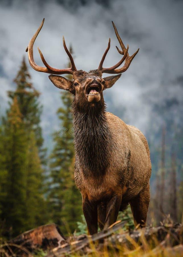 Stier-Elche in Colorado lizenzfreie stockfotos